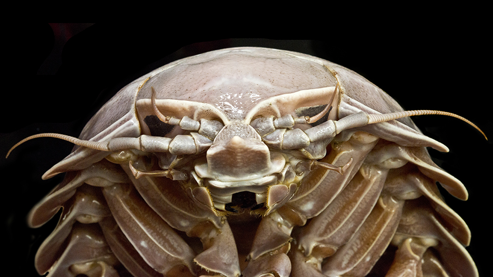 Anterior view of Bathynomus raksasa, a new species of giant isopod (Photo: SJADES 2018)
